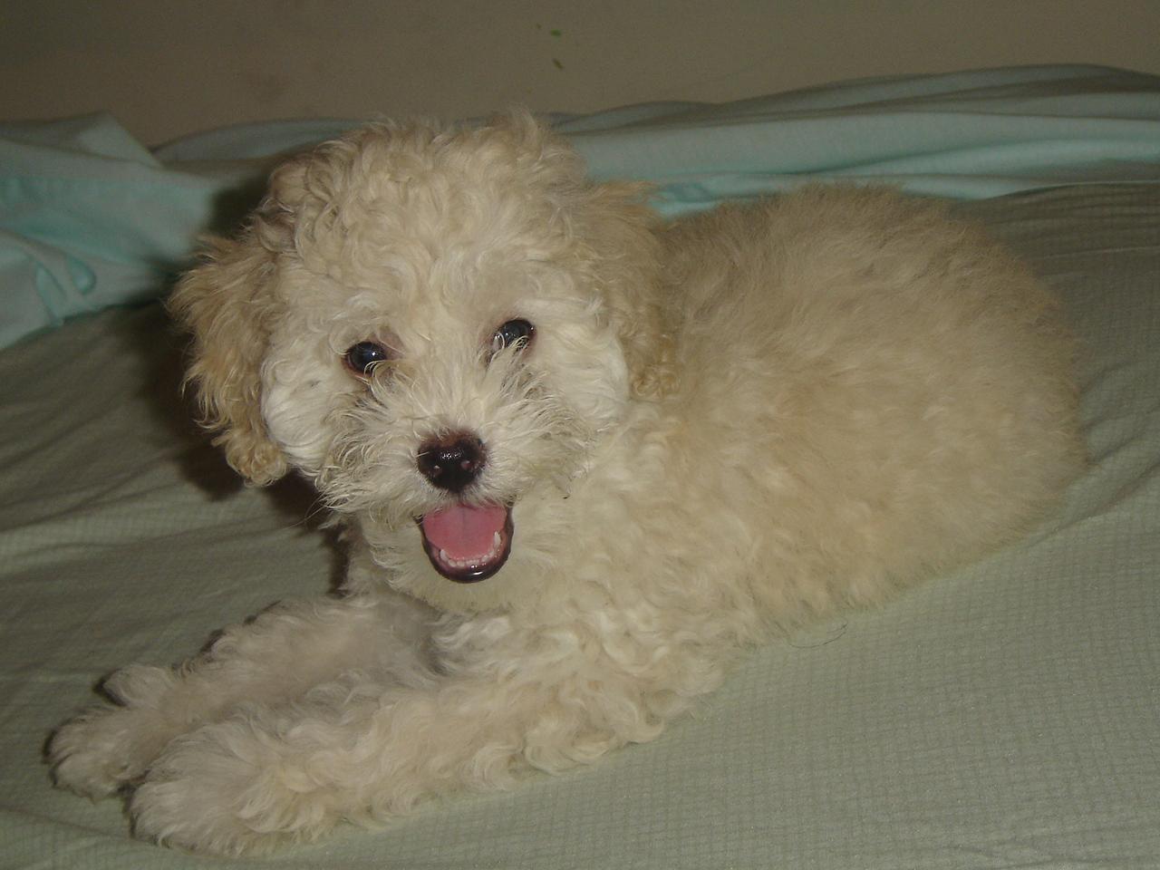 Caniche_cachorro_llamado_Willy