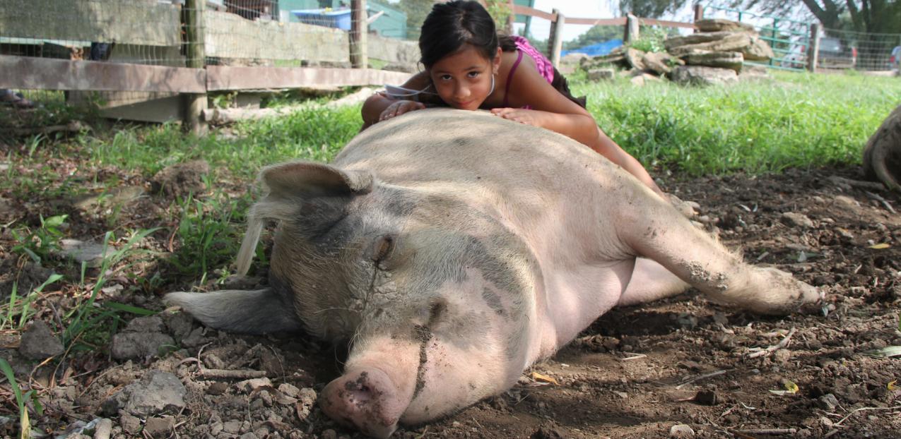 cum sa masezi porcul
