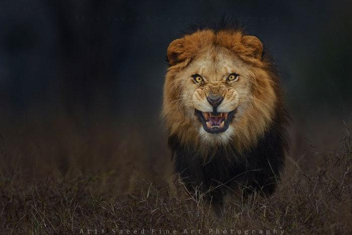 lion_attack_photo_01