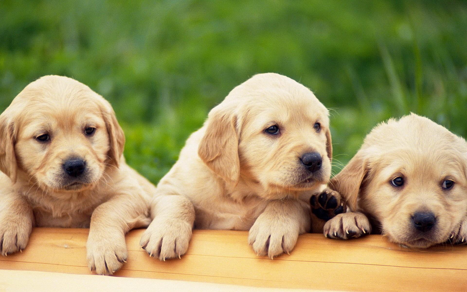 921990-yellow-labrador-puppies